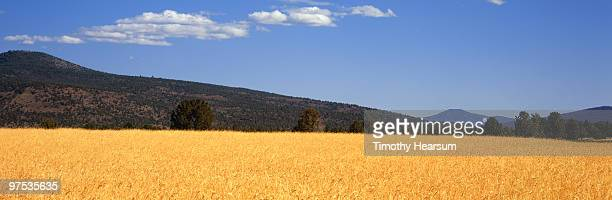 field of mature wheat; mountains beyond - timothy hearsum stockfoto's en -beelden