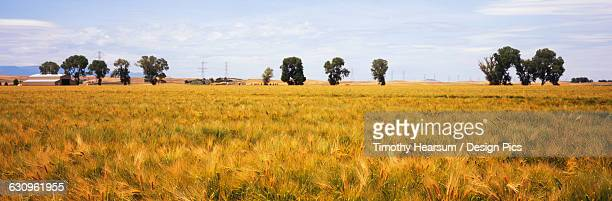 a field of nearly ripe winter wheat is seen in late spring with trees, farm buildings, clouds and blue sky in the background, central valley - timothy hearsum stock photos and pictures