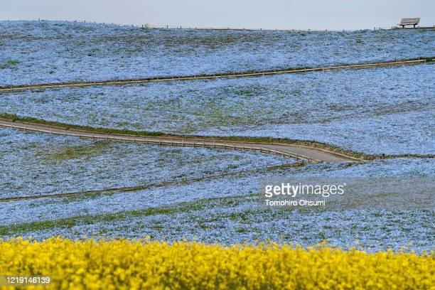 Field of Nemophila flowers is seen behind a field of rapeseed at Hitachi Seaside Park on April 16, 2020 in Hitachinaka, Japan. Usually drawing...