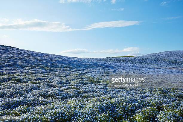 Field of Nemophila Flowers