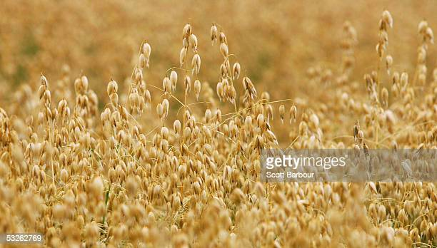 A field of oats grows in the chalk downlands July 19 2005 south of Salisbury England The future shape of Britain's farming industry lies in the...