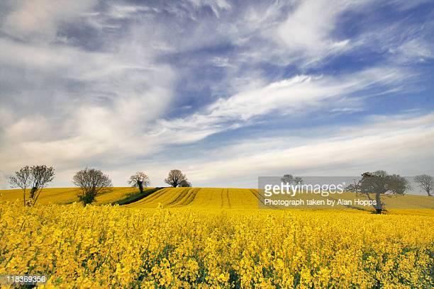Field of oilseed rape in full bloom.