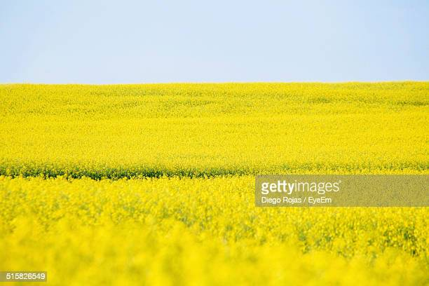 Field Of Oilseed Rape