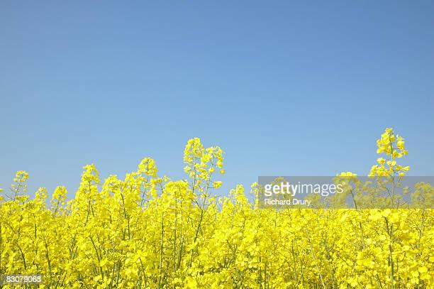 Field of oilseed Rape (Brassica napus)
