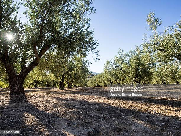 Field of olive trees with a blue sky and the sun among the star-shaped branches.