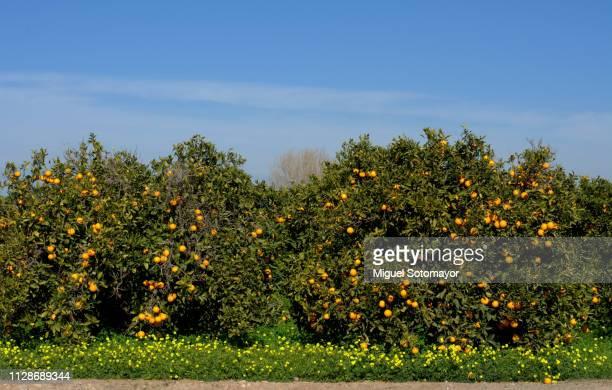 field of orange trees - orange farm fotografías e imágenes de stock