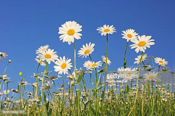 field of ox-eye daisies (leucanthemum vulgare), low angle view, spring - daisy stock pictures, royalty-free photos & images