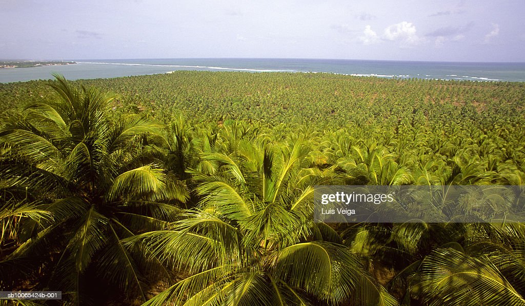 Field of palm trees, elevated view : Foto stock