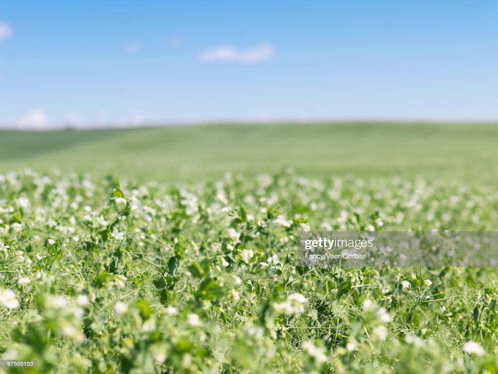 Field of Peas : Stock Photo