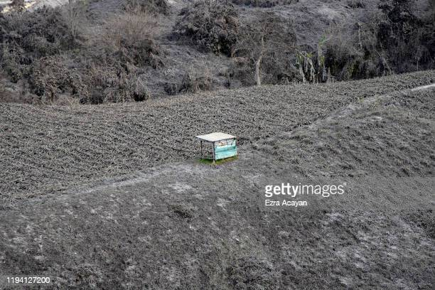 A field of pineapples covered in volcanic ash from Taal Volcano's eruption on January 17 2020 in Tagaytay city Cavite province Philippines The...