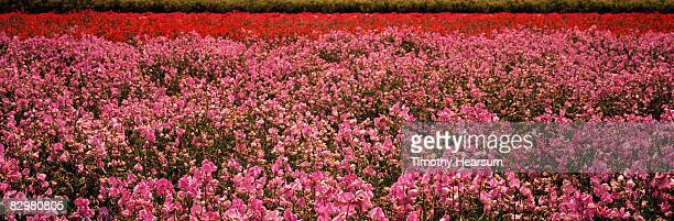 field of pink and red sweet peas - timothy hearsum fotografías e imágenes de stock