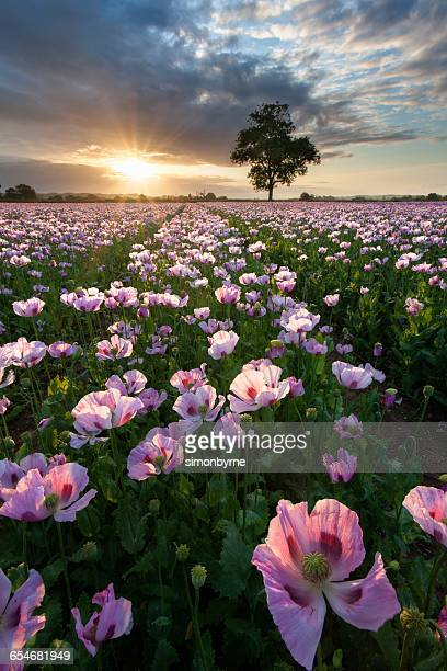 field of pink poppies (papaver somniferum) at sunrise, dorset, england - opium poppy stock pictures, royalty-free photos & images