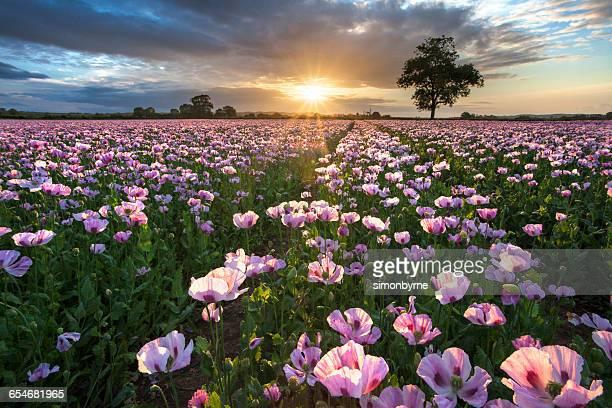 Field of pink poppies (papaver somniferum) at sunrise, Dorset, England