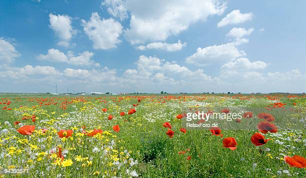 Field of poppies and flowers with romantic cloudscape