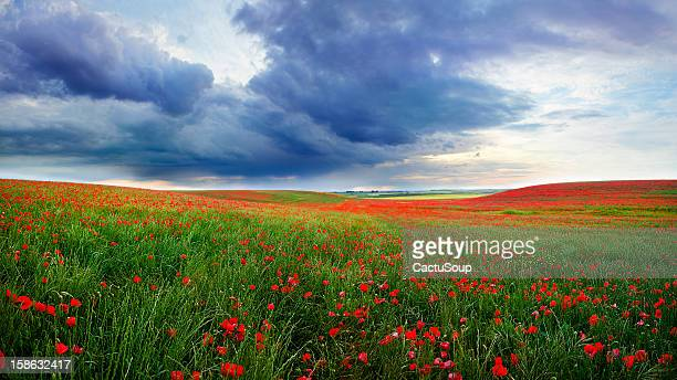 field of poppies bloom - poppy stock pictures, royalty-free photos & images