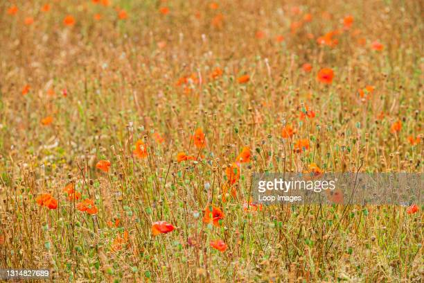 Field of poppies going to seed.