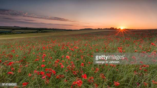 field of poppies ii - hertfordshire stock pictures, royalty-free photos & images