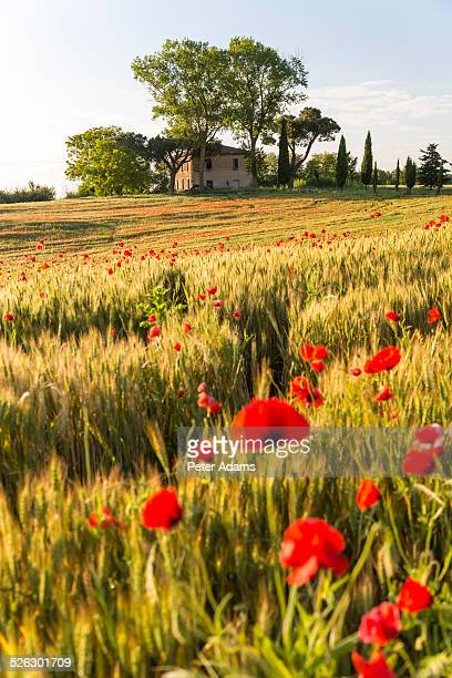 Field of poppies, old abandoned farmhouse, Tuscany