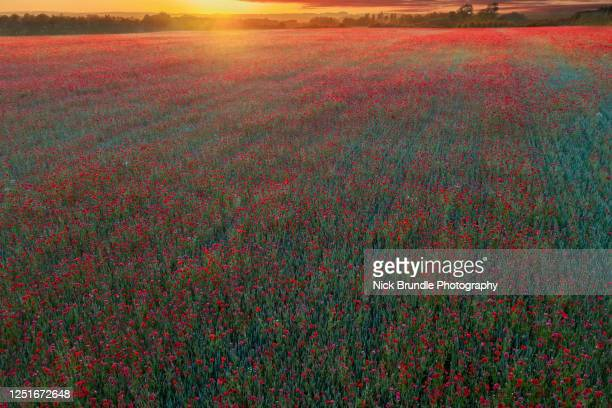 a field of poppies - war stock pictures, royalty-free photos & images