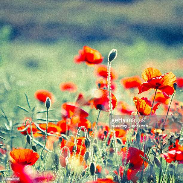 field of poppies - s0ulsurfing stock pictures, royalty-free photos & images