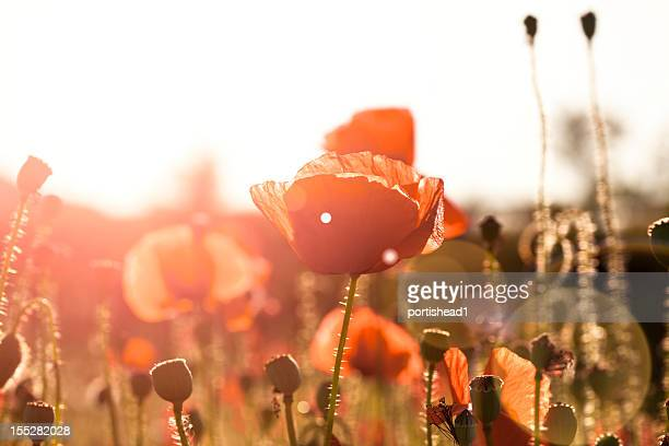 field of poppies - poppy stock pictures, royalty-free photos & images