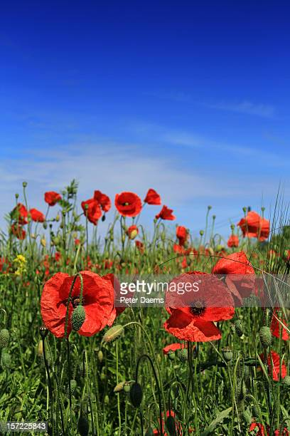 field of poppies - oriental poppy stock pictures, royalty-free photos & images