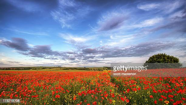 field of poppies (papaveraceae) - poppy field stock photos and pictures
