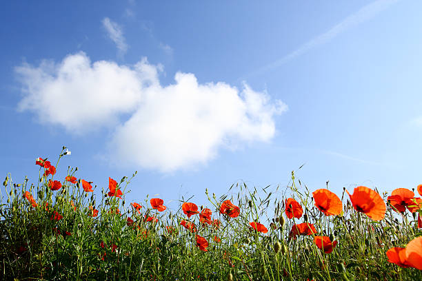 A Field Of Poppies Under A Blue Sky Wall Art
