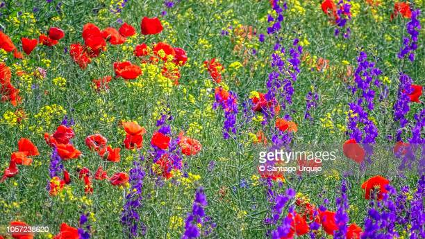 field of poppy flowers and forking larkspurs - impressionism stock pictures, royalty-free photos & images