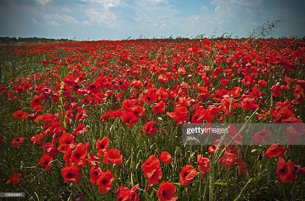 Field of poppy flowers : Stock Photo