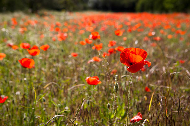 A Field Of Poppy Flowers Wall Art