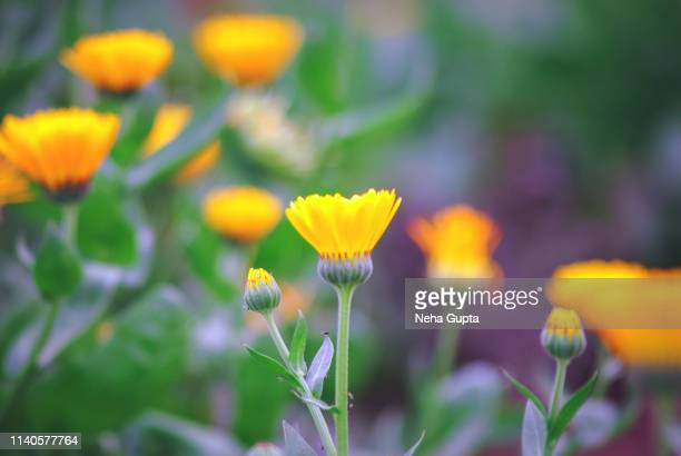 field of pot marigolds - pot marigold stock pictures, royalty-free photos & images