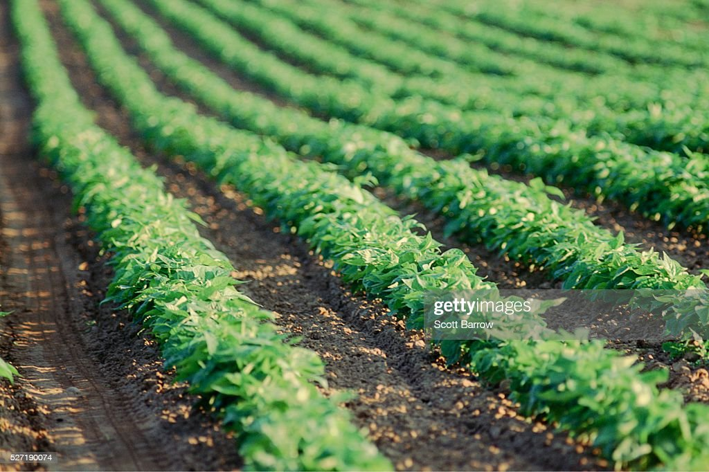 Field of potato plants : Foto de stock