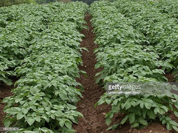 Field of potatoe plants, Cornwall, UK.