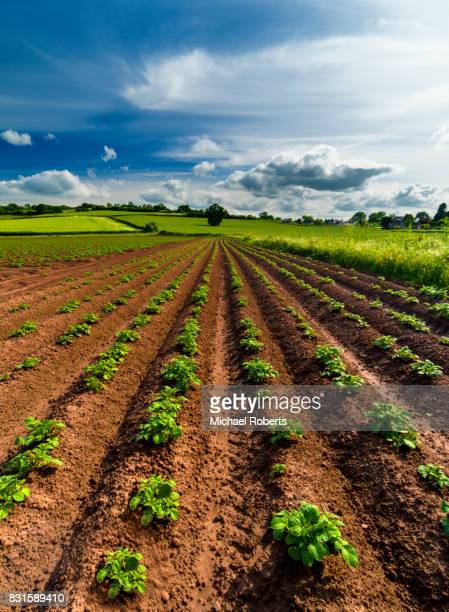 Field of potatoes in Monmouthshire