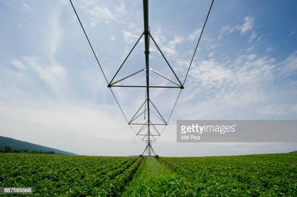 Field of potatoes with pivot irrigation system