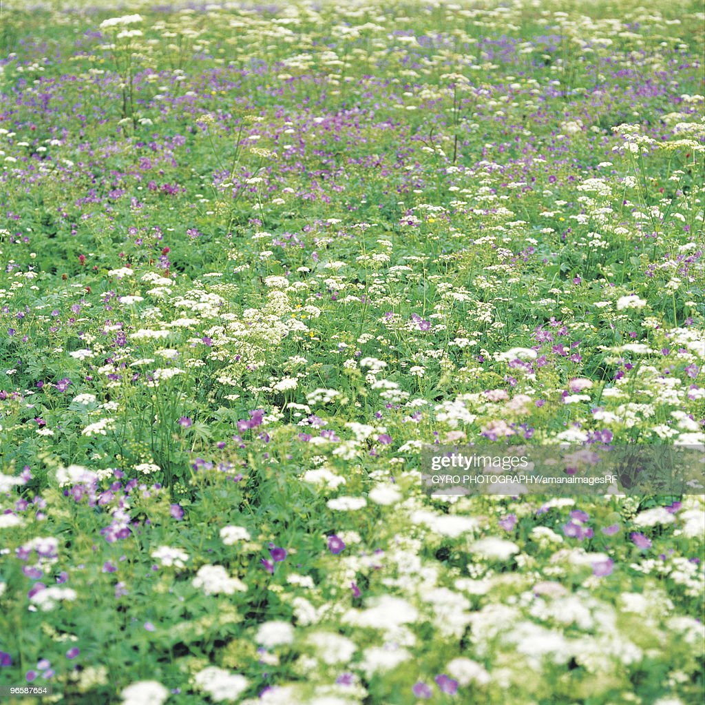 Field Of Purple And White Flowers Stock Photo Getty Images