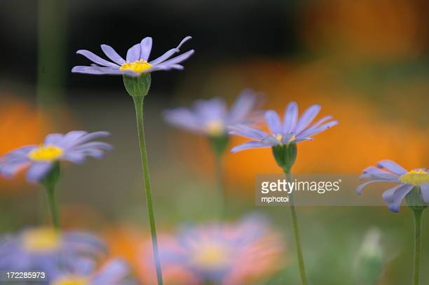Field of purple and yellow daisies
