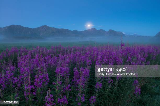 field of purple flowers in foggy weather at twilight, gimsoy, lofoten, norway - flower moon stock pictures, royalty-free photos & images