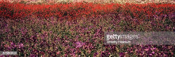 field of purple, red and pink sweet peas - timothy hearsum stockfoto's en -beelden