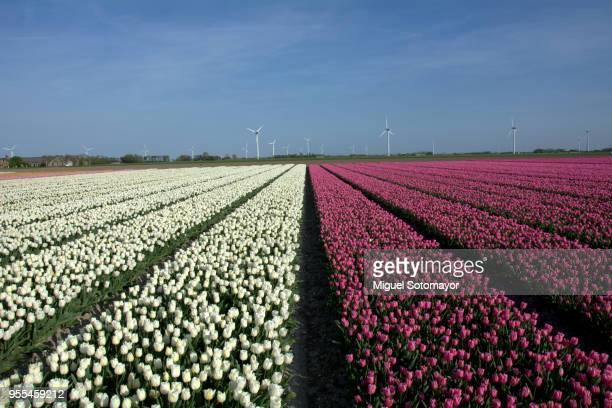 field of purple tulips - flevoland stockfoto's en -beelden