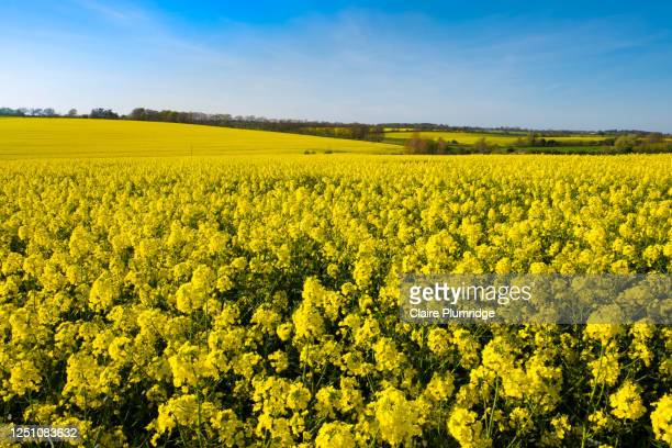 field of rape seed plants under a clear blue sky - berkshire england stock pictures, royalty-free photos & images
