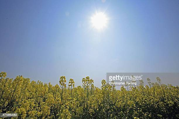 A field of Rapeseed blooms in the sunshine on 11 May Tabley Cheshire England Rapeseed has become one of the most popular crops for farmers because of...