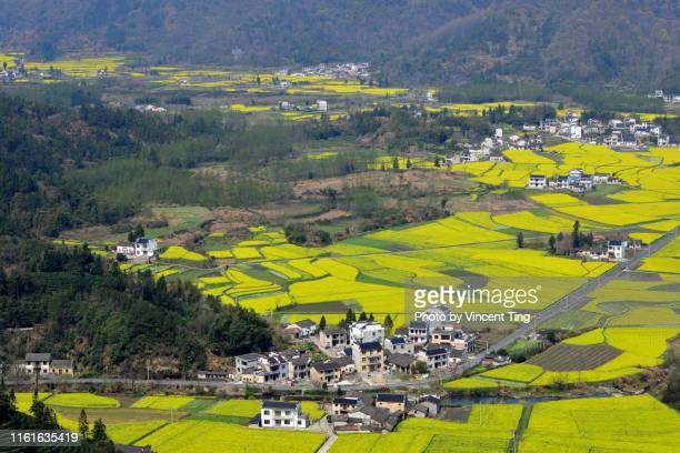 field of rapeseed flowers at wu yuang, jiangxi, china - jiangxi province stock photos and pictures