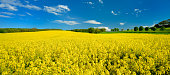 Field of Rapeseed in Full Bloom, distant Tractor with Sprayer