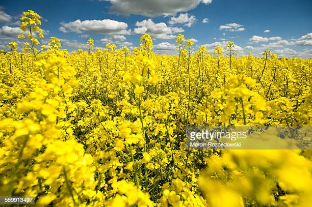 field of rapeseed - canola oil stock pictures, royalty-free photos & images