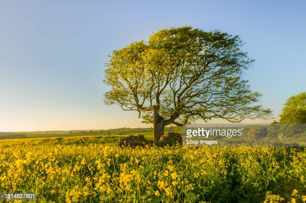 Field of rapeseed with a lone tree.