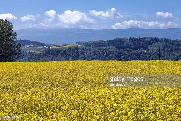 Field of Rapseed or Colza, Switzerland, Vaud, Jura Mountains