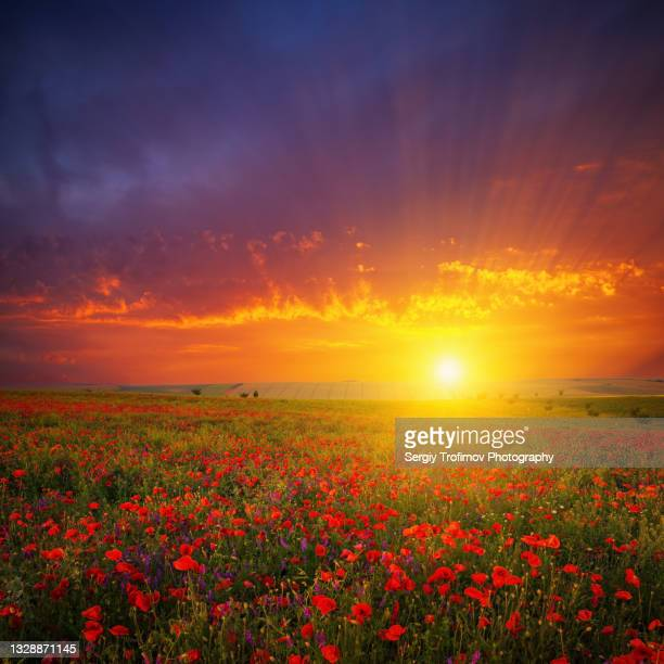 field of red poppies at sunset - romantic sunset stock pictures, royalty-free photos & images