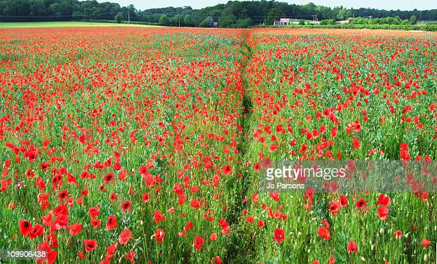a field of red poppies - イギリス バークシャー ストックフォトと画像